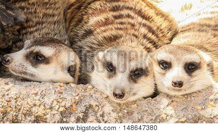 Close up three meerkat sleeping on the stone