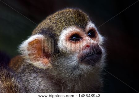 Portrait of the squirrel monkey. Photography of wildlife.