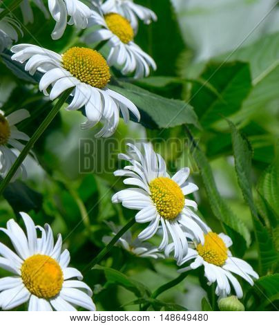White daisies from the side in green grass.