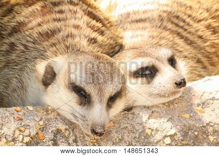 Close up two meerkat sleeping on the stone