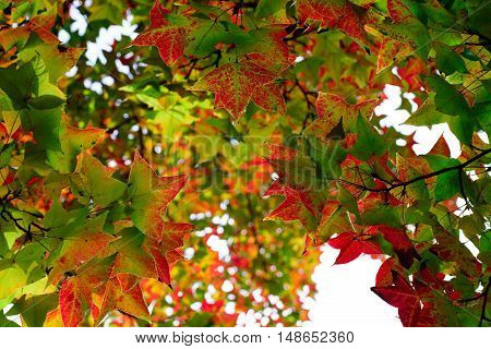 Maple leaves become red when the autumn comes