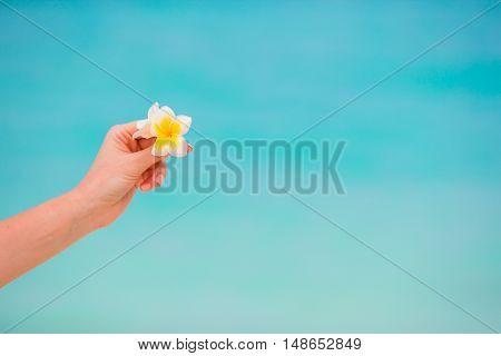 White beautiful frangipani flowers in female hands