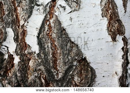 Close-up of the textured and cracked bark birch