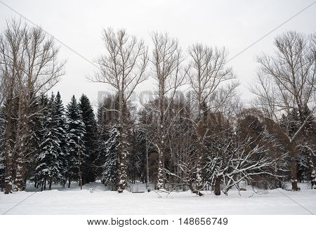 Silhouettes of bare and snow-covered trees against a white sky and snow. Winter landscape.