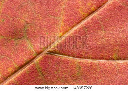 A Red Maple Leaf Extremely Close Up