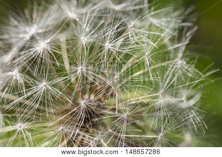 A Dandelion with Seeds close up with green background.