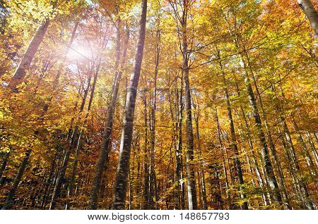 Beautiful golden forest treetops in fall like from fairy tale .