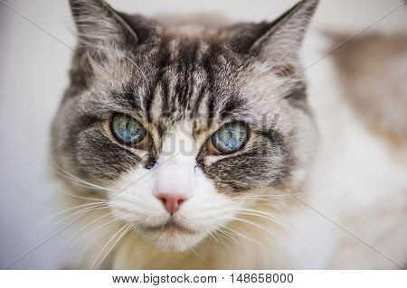 beautiful grey and white cat with blue eyes