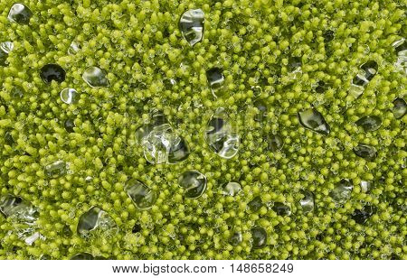 Few waterdrops on green moss on Iceland.