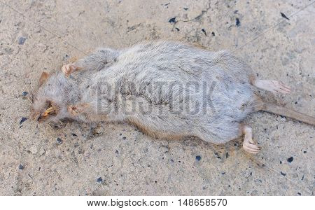 Dead gray Rat on floor asphalt background