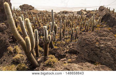 Cacti in Isla Incahuasi, Salar the Uyuni salt lake, Bolivia