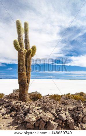 Cactus in Isla Incahuasi, Salar the Uyuni salt lake, Bolivia