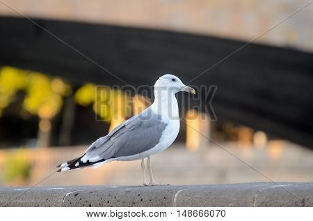 seagull portrait on river Mtkvari, Tbilisi Georgia