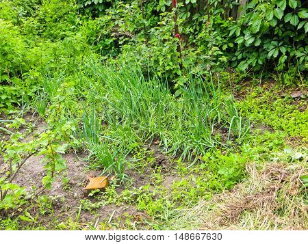 Green onion sprouts grow in a garden