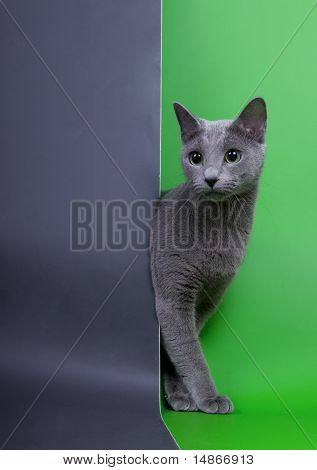 Russian blue cat in the studio
