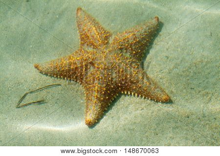 Underwater starfish, Oreaster reticulatus, over massive starlet coral in the Caribbean sea