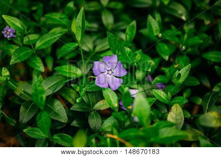 Close View Of Small Delicate Garden Blossom Flower With Five Lilac Petals Growing In Green Grass Of Sunny Spring Garden