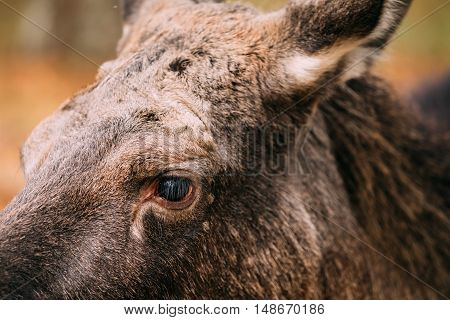 Close up of eye of wild female moose, elk.