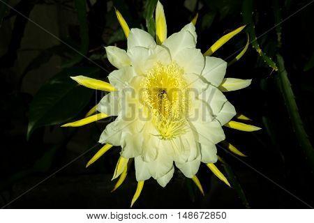 Pitaya flower or dragon fruit night blooming flower.