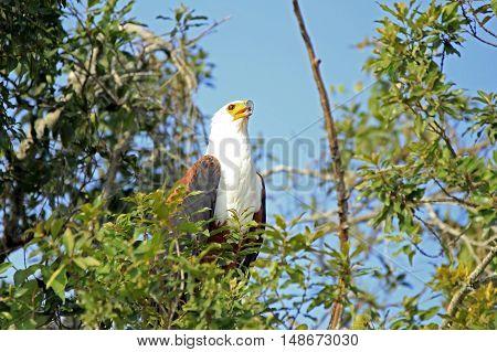 African Fish Eagle (Haliaeetus vocifer) in a Tree. Lake Mburo Uganda
