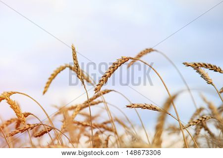 Wheat field. Ears of golden wheat close up. Beautiful Nature. Rural Scenery under Shining Sunlight. Background of ripening ears of meadow wheat field. Rich harvest Concept