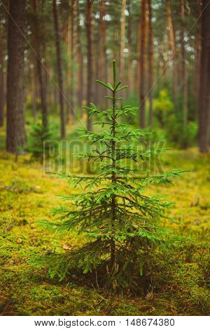 Small growing spruce fir tree in coniferous forest. Russian Nature