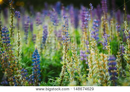 Mix Of Blooming And Overblown Wild Flowers Lupine With Seed Pods In Summer Meadow Field In Spring Summer. Lupinus, Lupin, Lupine, Is  Genus Of Flowering Plants In The Legume Family, Fabaceae