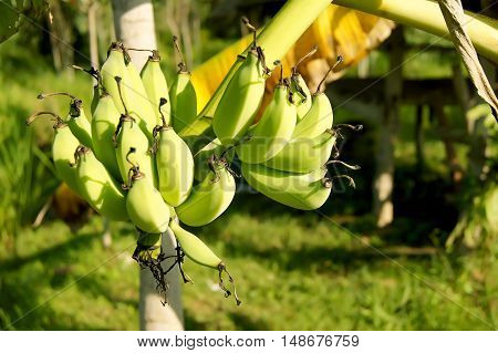 The Banana Bunch Of Raw On Banana Tree In Banana Plantations