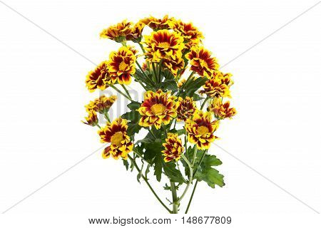 Yellow red chrysanthemum isolated on a white background