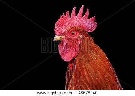 fiery rooster portrait isolated on black, symbol, the bird with beautiful plumage, 2017, new year