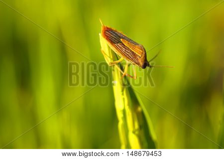 Coreid Bug Caught The Ears Of Rice