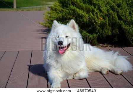 siberian samoyed, White husky dog. in rike park Tbilisi, Georgia