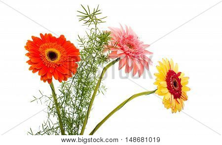 Gerber Daisy flower isolated on white background