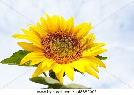 Close up of sunflower head in front of the sky