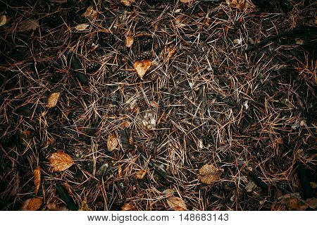 The ground is covered in pine needles, cones and leaves. Autumn texture