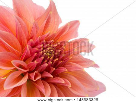 beautiful dahlia isolated close-up on a white background