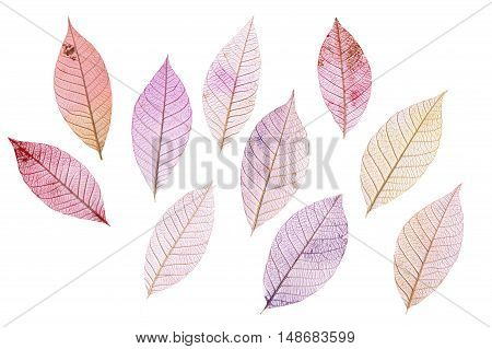 A set of purple tinted skeleton leaves on white background autumnal design elements
