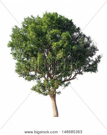 tree isolated on white background tree isolated