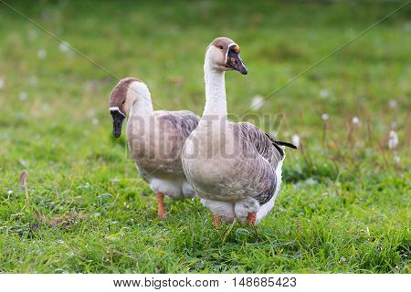 two gray goose in the green grass