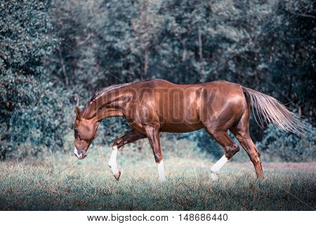 Red Akhal-Teke horse stepping on the trees background at the summer