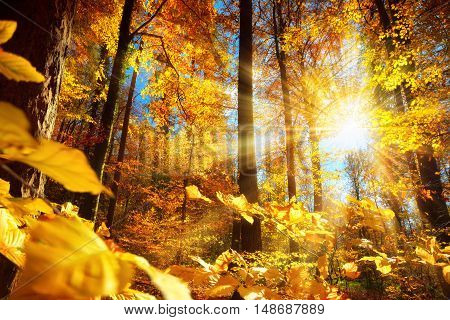 Gorgeous autumn scenery in a forest with the sun casting beautiful rays of light through the yellow foliage