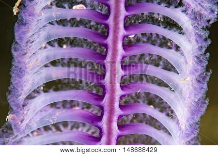 Pink Sea Pen Underwater Close Up Macro Detail