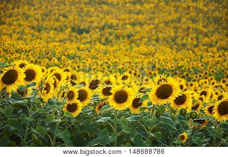 Summer meadow with beautiful yellow sun flowers