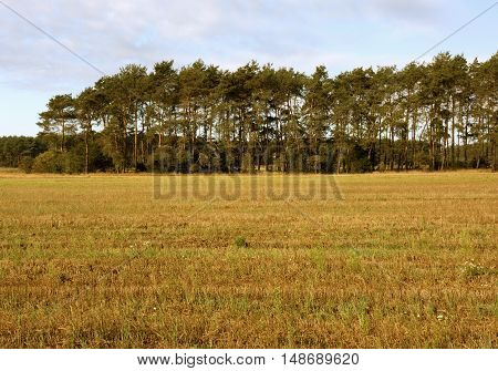Poland in September the landscape of pine trees in a field in autumn.Horizontal view.