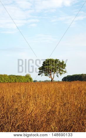 Lonely dwarf pine tree in the meadow in autumn under blue sky with white clouds.Poland in September. Hertical view.