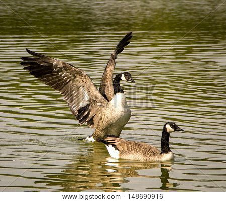 Two Canada geese in pond, one in middle of dramatic wing flap