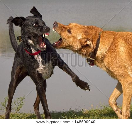 Two dogs ferociously baring their teeth at each other in front of a pond
