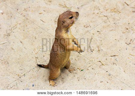 Portrait of black-tailed prairie dog. Photography of wildlife.