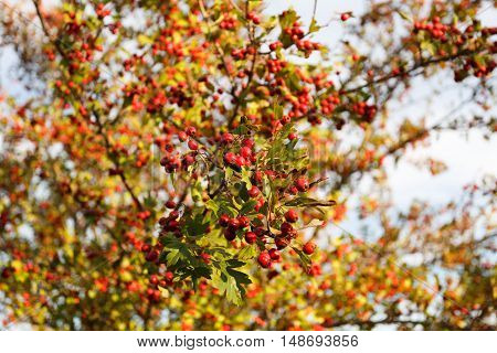 Rowan tree at autumn forest at sunset