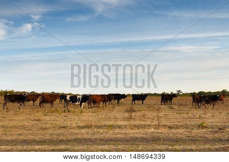 Cows in the autumn meadow on sunset